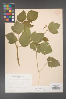 Rubus caesius [KOR 53796]