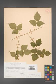 Rubus caesius [KOR 53813]