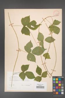 Rubus caesius [KOR 29846a]