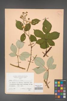 Rubus bifrons [KOR 53814]