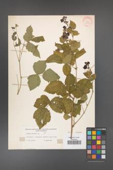 Rubus caesius [KOR 31095]