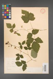 Rubus caesius [KOR 31081]