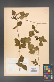 Rubus caesius [KOR 31063]