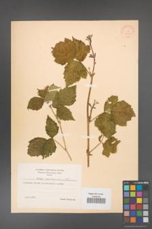 Rubus caesius [KOR 31070]