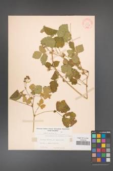 Rubus caesius [KOR 31037]