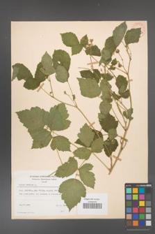 Rubus caesius [KOR 29843a]