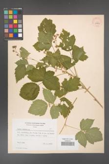 Rubus caesius [KOR 29852]