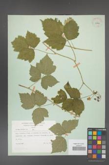 Rubus caesius [KOR 29823]