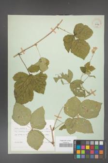 Rubus caesius [KOR 29824]