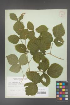 Rubus caesius [KOR 29820]
