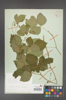 Rubus caesius [KOR 27918]