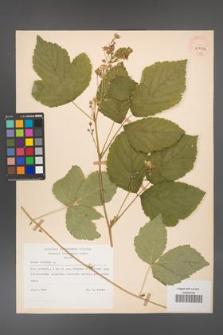 Rubus caesius [KOR 29850a]