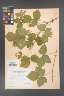 Rubus caesius [KOR 29851]