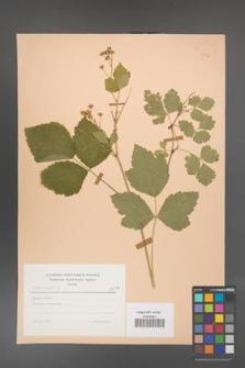 Rubus caesius [KOR 23447]