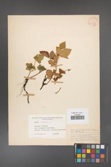 Rubus caesius [KOR 31123]