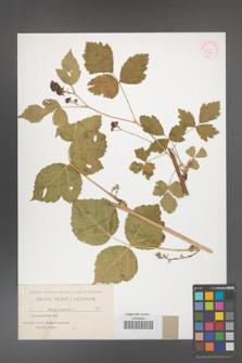 Rubus caesius [KOR 31085]