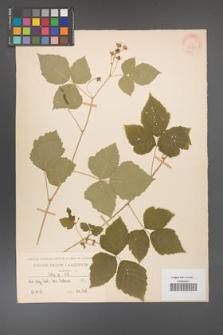 Rubus caesius [KOR 31121]
