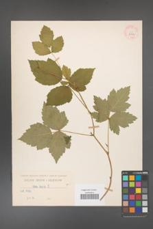 Rubus caesius [KOR 29902]
