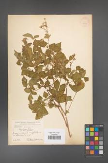 Rubus caesius [KOR 31093]