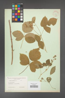 Rubus caesius [KOR 31125]