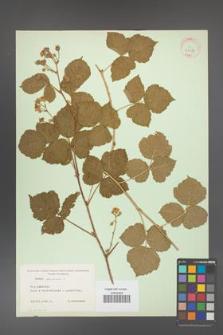 Rubus caesius [KOR 31089]