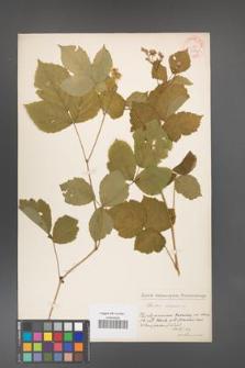 Rubus caesius [KOR 31099]