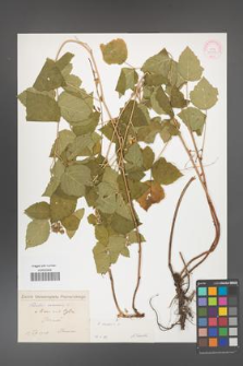 Rubus caesius [KOR 31096]