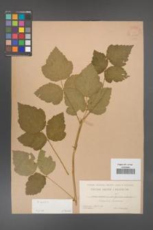 Rubus caesius [KOR 31106]