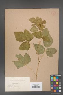 Rubus caesius [KOR 53815]