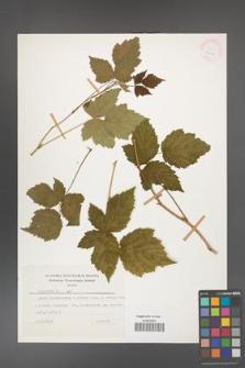 Rubus caesius [KOR 26080]