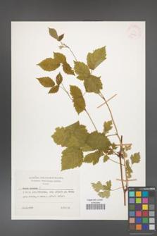 Rubus caesius [KOR 26060]