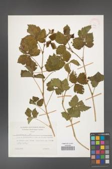 Rubus caesius [KOR 26074]
