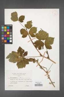 Rubus caesius [KOR 26075]