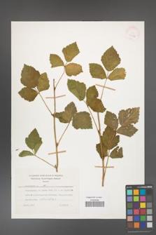 Rubus caesius [KOR 26078]