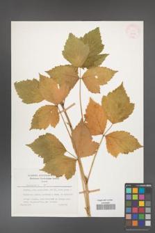 Rubus caesius [KOR 26079]