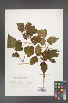 Rubus caesius [KOR 26069]
