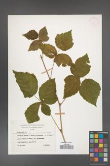 Rubus caesius [KOR 26066]