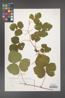 Rubus caesius [KOR 26064]