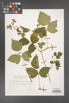 Rubus caesius [KOR 24872]