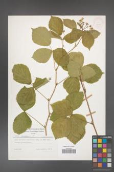 Rubus caesius [KOR 25198]