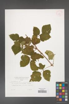 Rubus caesius [KOR 29899]
