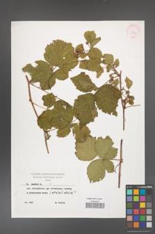 Rubus caesius [KOR 29897]