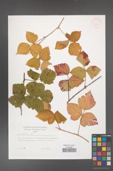 Rubus caesius [KOR 29901]