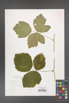 Rubus caesius [KOR 29876]