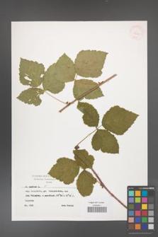 Rubus caesius [KOR 29868]