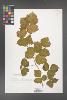 Rubus caesius [KOR 29870]