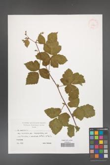 Rubus caesius [KOR 29869]