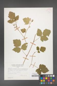 Rubus caesius [KOR 28067]