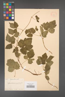 Rubus caesius [KOR 18510]