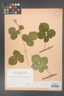 Rubus corylifolius [KOR 27098]